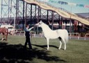 greylight-84-vic-arabians_med-2